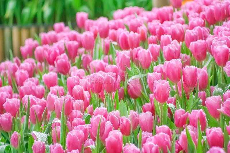 桃红色郁金香在庭院开花开花与水下落的小组 免版税库存照片