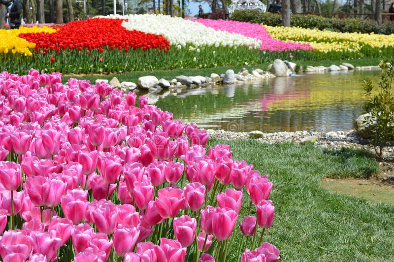 桃红色郁金香在庭院里在大公园 免版税库存照片