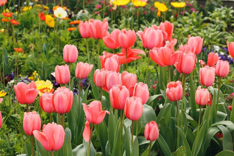 桃红色郁金香在庭院里 免版税图库摄影