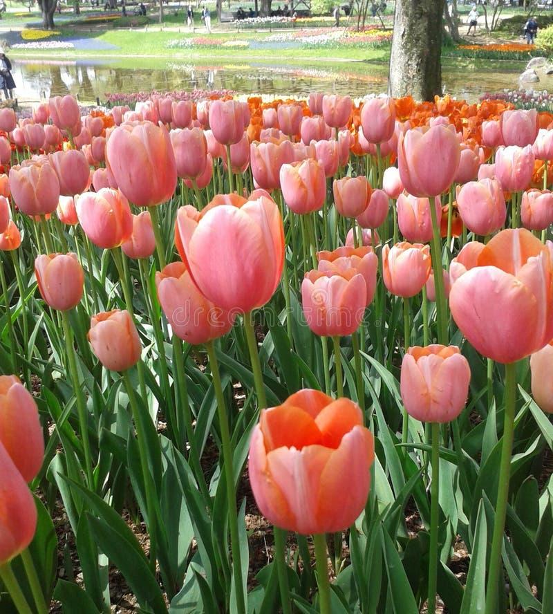 桃红色郁金香在花土地 免版税库存图片