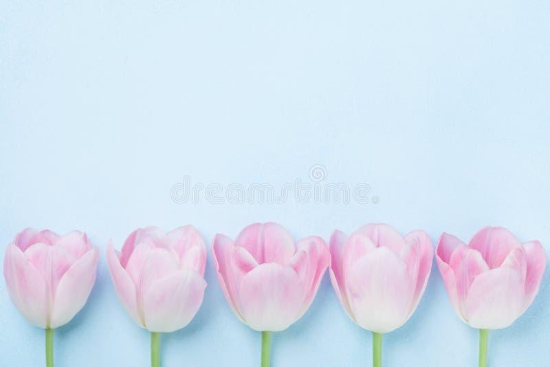 桃红色郁金香在蓝色背景顶视图开花 时尚淡色 平的位置样式 春天妇女天卡片 库存照片