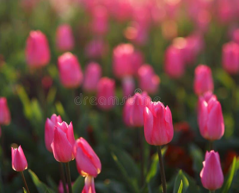 Download 桃红色郁金香射击了与浅DOF,弄脏在背景中 库存照片. 图片 包括有 绽放, 光芒, 工厂, 关闭, 背包 - 72367894