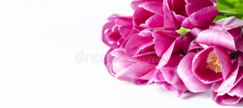 桃红色郁金香开花在白色背景隔绝的角落 库存照片