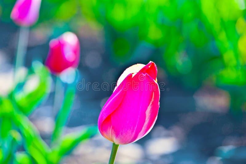 桃红色郁金香的特写镜头图象 库存照片