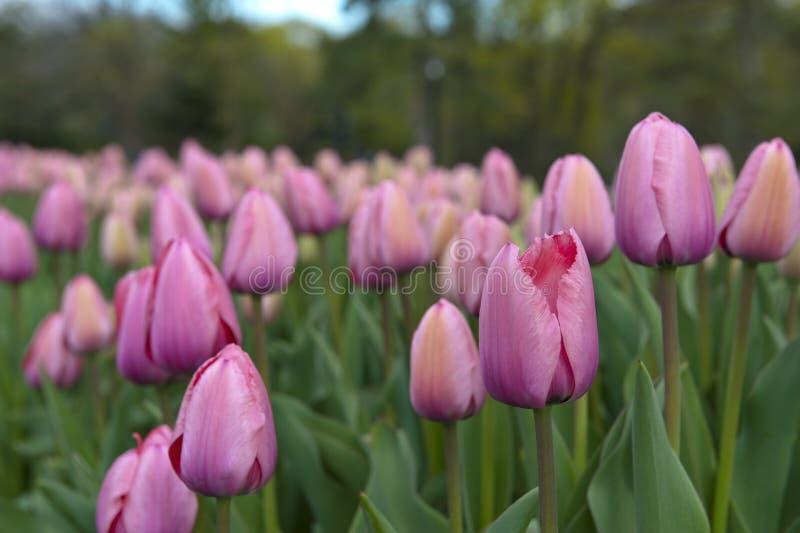 桃红色郁金香的领域 免版税库存图片