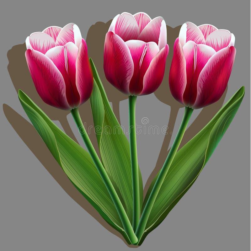 桃红色郁金香花束在灰色的 皇族释放例证