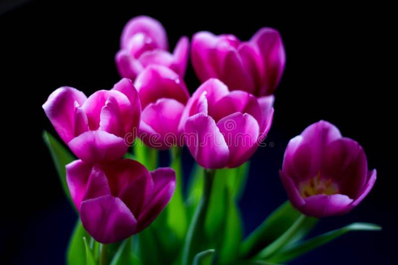桃红色郁金香花束在黑暗的背景的 r 免版税库存图片