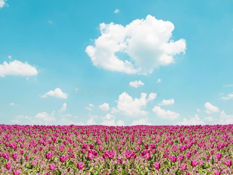桃红色郁金香领域和天空蔚蓝风景 免版税库存照片