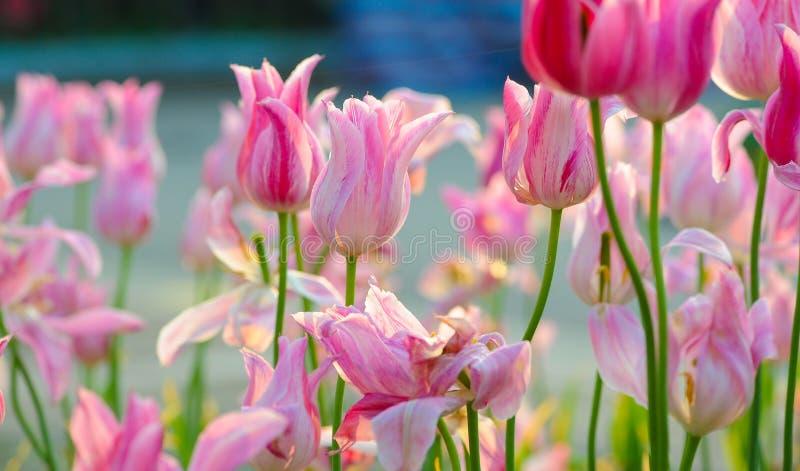 桃红色郁金香绽放在春天 免版税库存图片