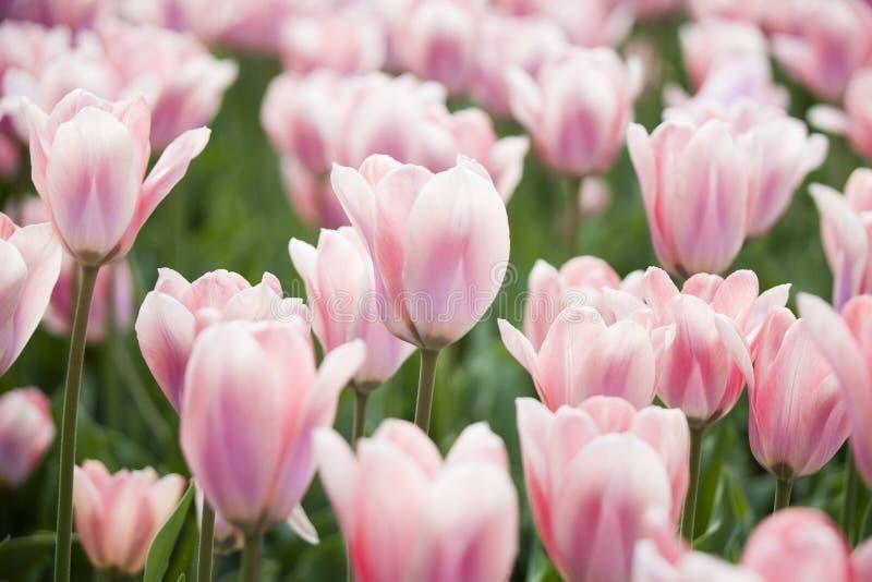 桃红色郁金香 自然春天背景 库存图片
