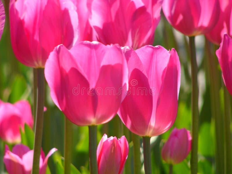 Download 桃红色郁金香 库存图片. 图片 包括有 绿色, 郁金香, 粉红色, 增长, beauvoir, 词根, 庭院 - 185413