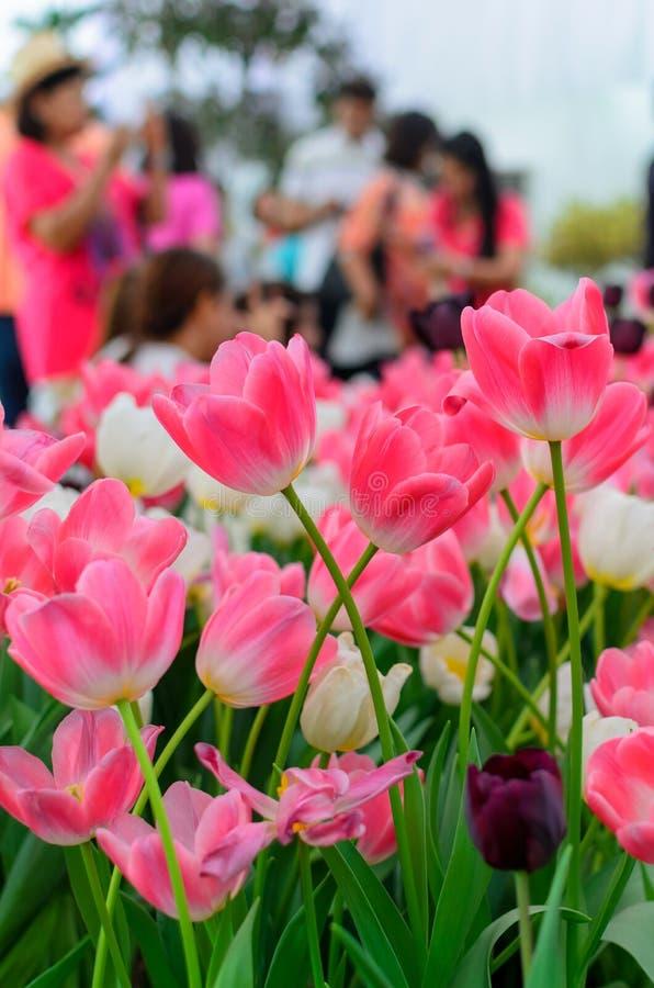Download 桃红色郁金香 库存照片. 图片 包括有 复活节, 投反对票, 新鲜, 背包, 生活, 庆祝, 开花, beauvoir - 30334572