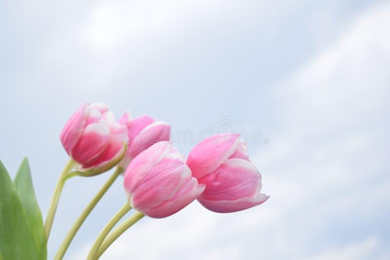 4桃红色郁金香 库存照片