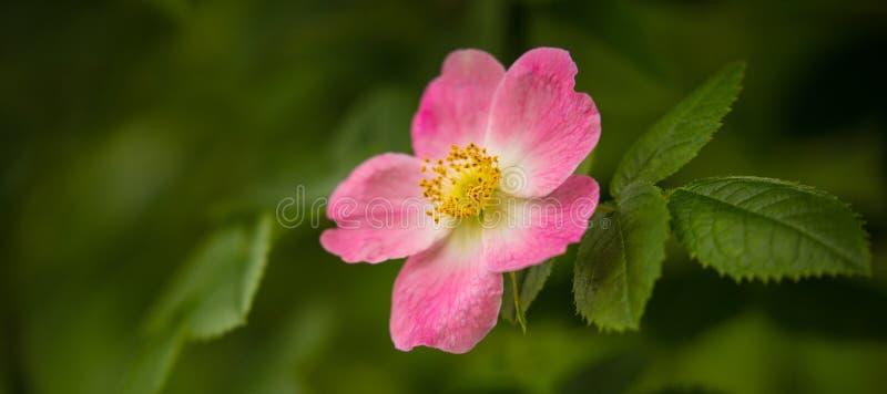 桃红色野玫瑰果野花在一个绿色森林里 库存照片