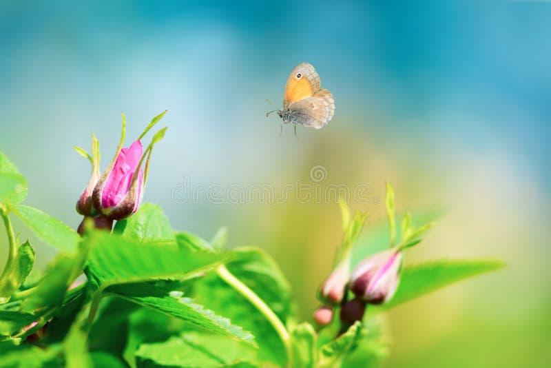桃红色野生玫瑰色芽狗上升了,与飞行蝴蝶的罗莎canina在天空背景 r 免版税库存图片