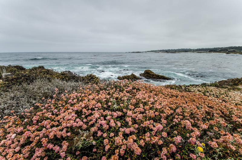 桃红色野花在太平洋的海岸线附近增长在沿太平洋海岸高速公路的加利福尼亚 阴暗日 免版税图库摄影