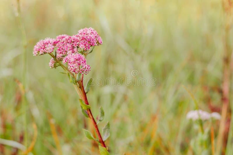 桃红色野花,包括在一个绿色草甸的背景的许多开花 图库摄影