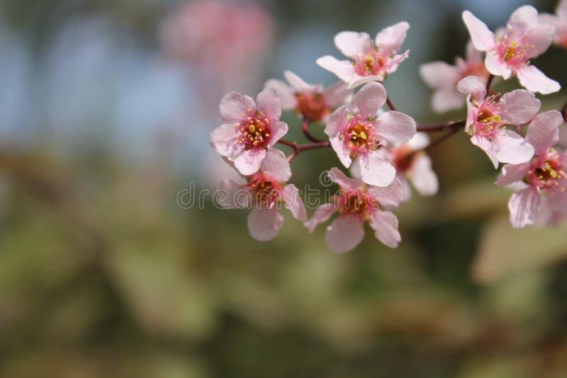 桃红色野黑樱桃开花 免版税库存图片