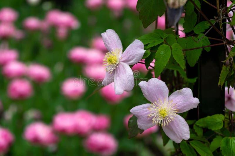 桃红色铁线莲属'Mayleen' 一个村庄庭院设置的一棵上升的植物与在背景的郁金香 免版税库存图片