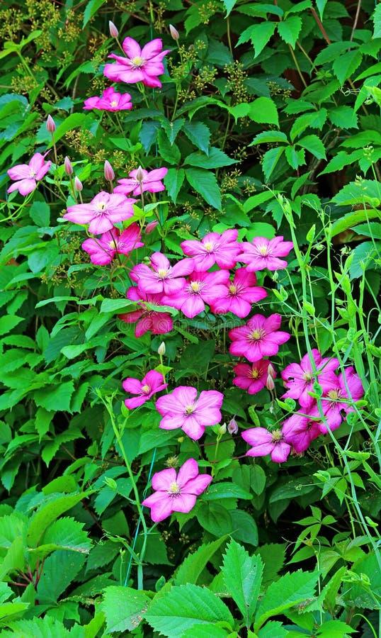 桃红色铁线莲属几朵花  库存照片