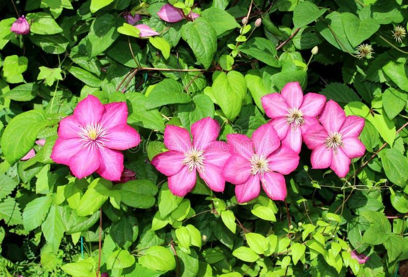 桃红色铁线莲属几朵花  免版税库存照片
