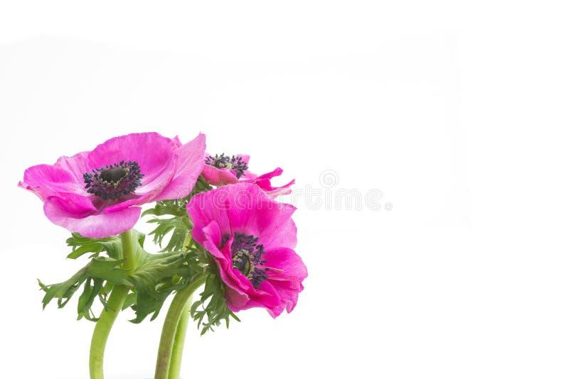 桃红色银莲花属花背景,瓣细节 库存图片