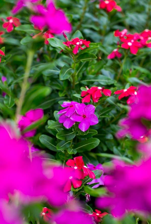 桃红色长春花属roseus绽放在庭院里 玫瑰色荔枝螺或者玫瑰色荔枝螺,是开花植物的种类 库存照片