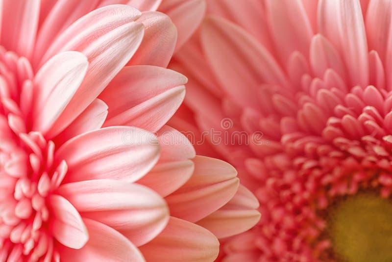 桃红色雏菊或大丁草,与瓣的花卉背景宏观摄影  免版税库存图片
