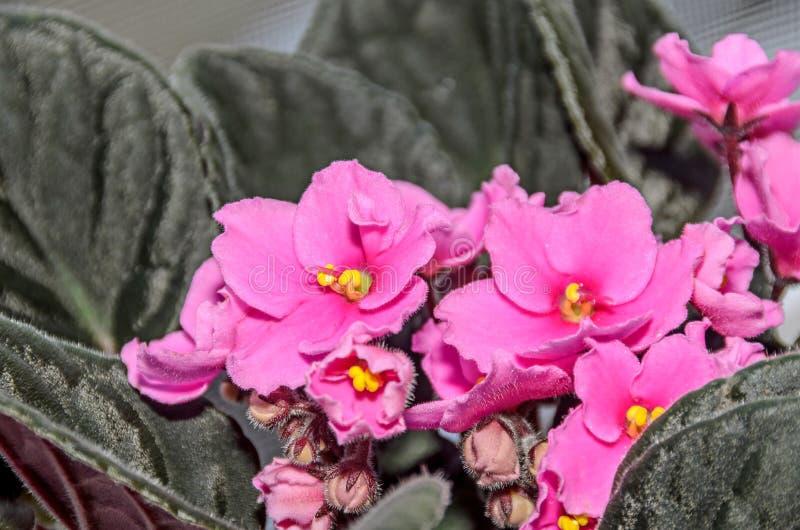 桃红色非洲堇开花,非洲紫罗兰紧密,绿色叶子 图库摄影