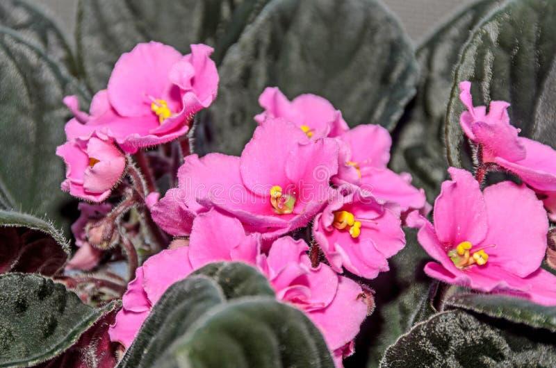 桃红色非洲堇开花,非洲紫罗兰紧密,绿色叶子 库存照片