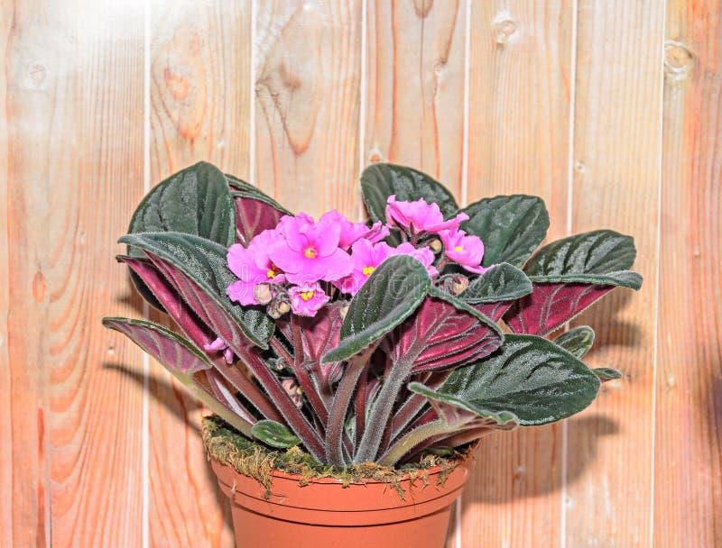 桃红色非洲堇开花,非洲紫罗兰紧密  免版税库存照片