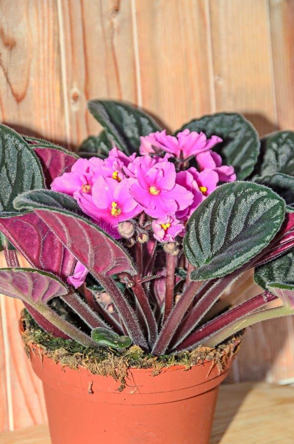 桃红色非洲堇开花,非洲紫罗兰紧密  免版税图库摄影