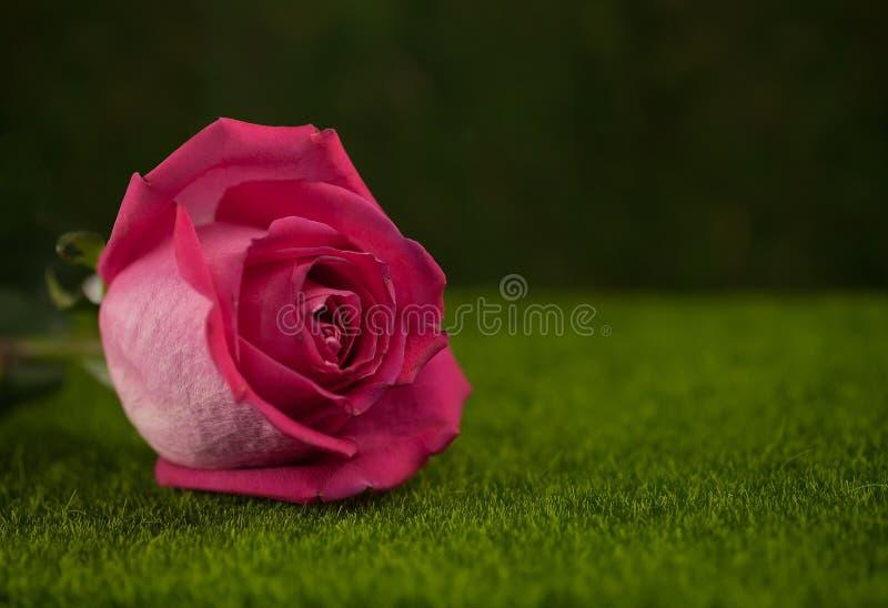 桃红色颜色谎言的罗斯 图库摄影
