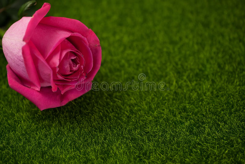 桃红色颜色谎言的罗斯 免版税图库摄影