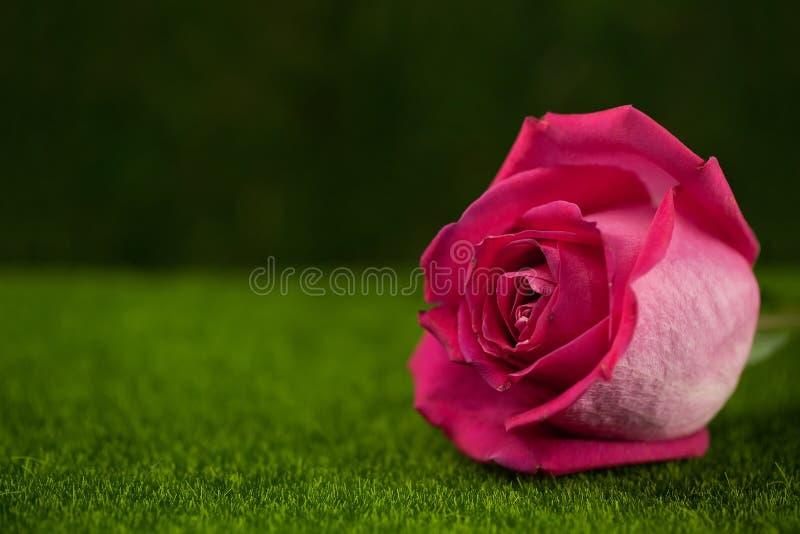 桃红色颜色谎言的罗斯 库存图片
