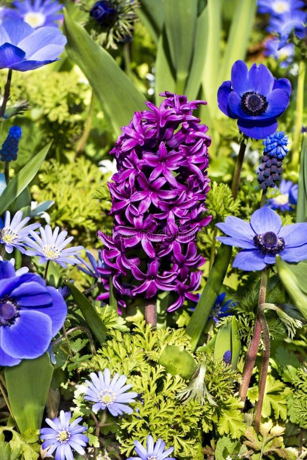 桃红色风信花和蓝色银莲花属 免版税图库摄影
