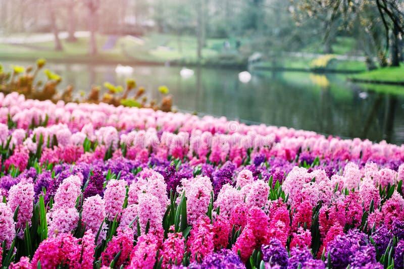 桃红色风信花在Keukenhof庭院,荷兰里 免版税图库摄影