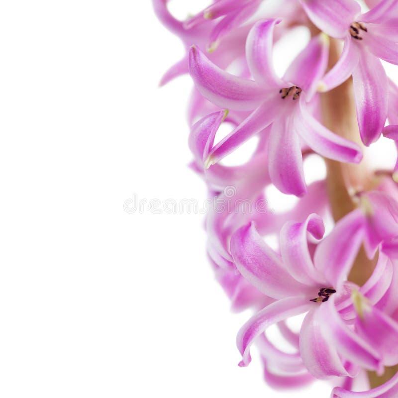 Download 桃红色风信花 库存照片. 图片 包括有 新鲜, 颜色, 风信花, 照亮, 工厂, 自然, 宏指令, bossies - 30325618