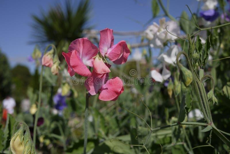 桃红色香豌豆花在英国国家庭院里 免版税库存照片