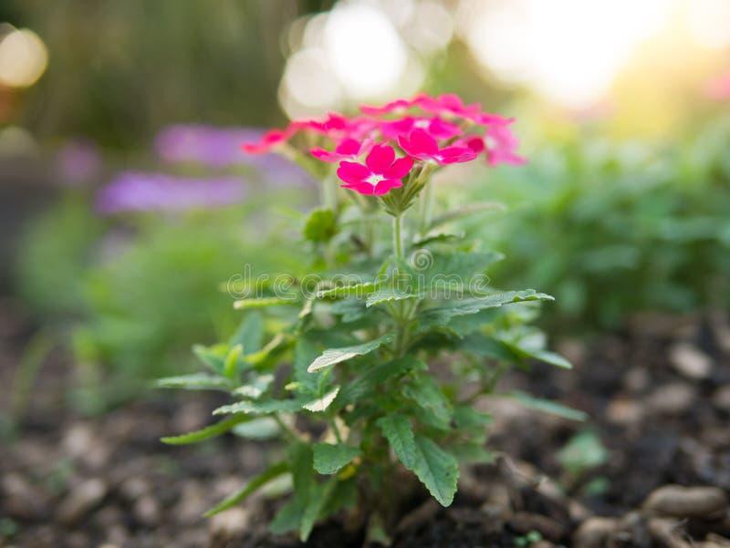 桃红色马鞭草属植物hybrida开花花 库存照片