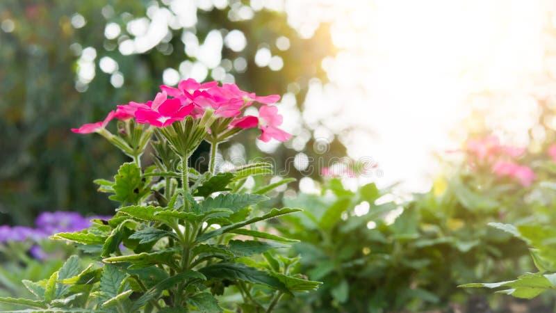 桃红色马鞭草属植物hybrida开花花 免版税库存照片