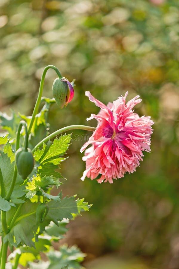 桃红色鸦片花在庭院里 免版税库存照片
