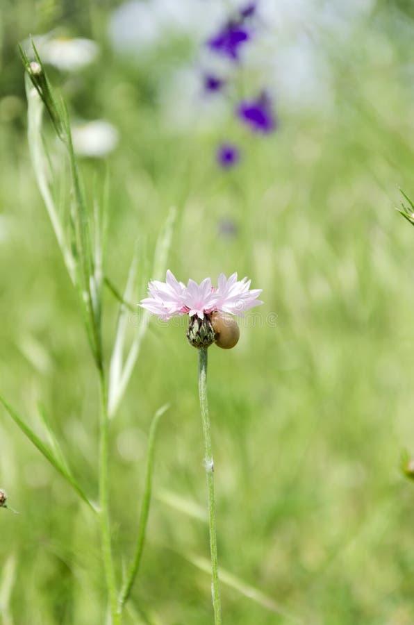 桃红色黑矢车菊属在绿色庭院里 o 免版税库存图片