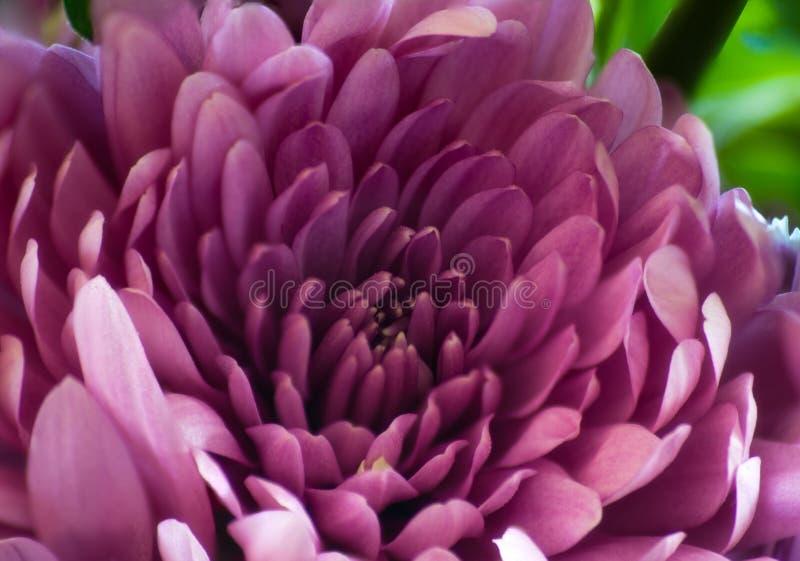桃红色,紫色菊花开花特写镜头,宏指令,绿色后面地面 免版税库存图片