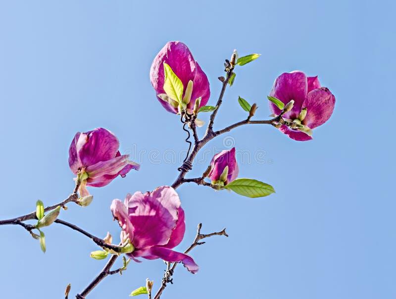 桃红色,紫色木兰分支花,关闭,蓝天背景 库存照片