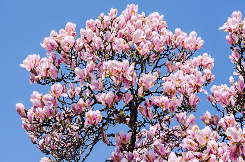 桃红色,紫色木兰分支花,关闭,蓝天背景 免版税库存图片