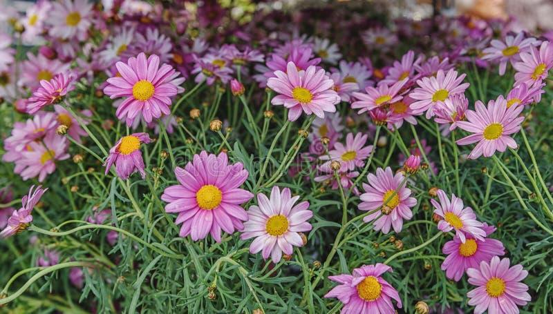 桃红色延命菊雏菊花在草甸 库存图片