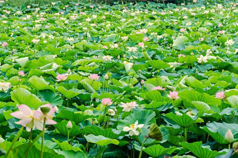 桃红色黄睡莲开花,在湖,水百合,池塘百合,睡莲,莲属nucifera,亦称印地安莲花的绿色领域 库存照片