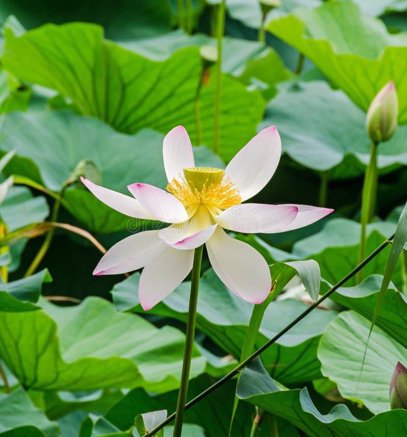 桃红色黄睡莲开花,在湖,水百合,池塘百合,睡莲,莲属nucifera,亦称印地安莲花的绿色领域 免版税图库摄影