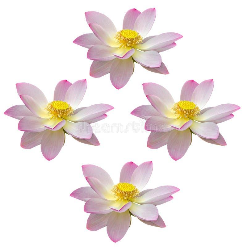 桃红色黄睡莲开花,在湖,水百合,池塘百合,睡莲,莲属nucifera,亦称印地安莲花的绿色领域 免版税库存图片